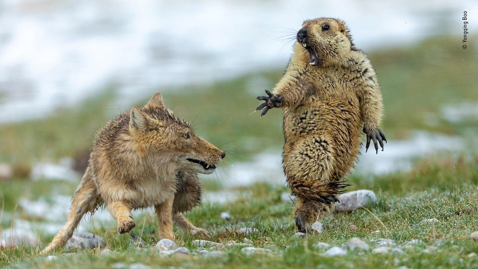 Fox battles rodent in 'perfect' wildlife photo, clinching top award